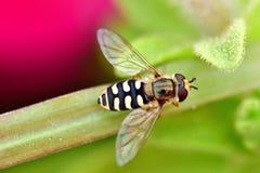 Завишите муха в цветках сада на конце вверх по съемке фотографии макроса Стоковое Изображение RF