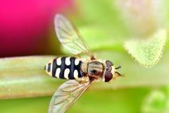 Завишите муха в цветках сада Стоковая Фотография RF