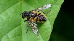 Завишите муха, Зависать-муха, муха видеоматериал
