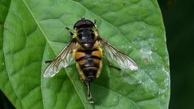 Завишите муха, Зависать-муха, муха сток-видео