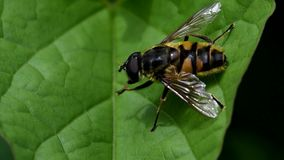 Завишите муха, Зависать-муха, муха акции видеоматериалы