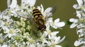 Завишите муха, Зависать-муха, муха, Syrphidae видеоматериал