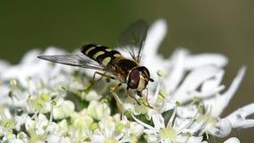 Завишите муха, Зависать-муха, муха, Syrphidae сток-видео