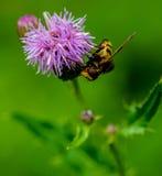 Завишите муха на проползая Thistle стоковое фото