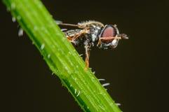 Завишите муха очищая его сторона Стоковая Фотография RF