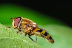 Завишите муха Стоковые Фото