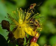 Завишите мухы на желтом цветке Стоковые Фото