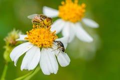 2 завишут мухы собирая нектар Стоковое фото RF