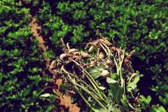 Заводы арахисов с корнями на плантации земледелия Стоковые Изображения RF
