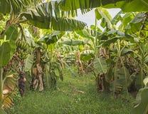 Заводы банана в тропической плантации фермы Стоковое Изображение RF