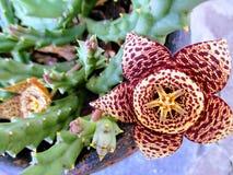 Заводы заварного крема или succulents не-кактуса стоковые фото
