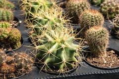 Заводы кактуса в подносе парника стоковое фото rf