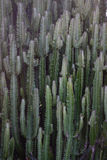 Заводы кактуса на саде Стоковые Фотографии RF