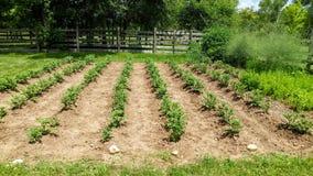 Заводы картошки растя в огороде стоковая фотография