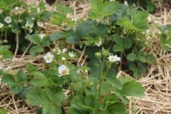 Заводы клубники с цветениями в соломе стоковое фото