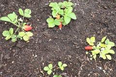 Заводы клубник в росте на плодоовощах поля зрелых красных клубники Стоковое Изображение