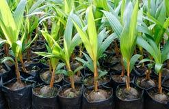 заводы кокоса Стоковая Фотография
