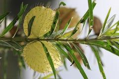 Заводы лебедя для бабочки монарха стоковые изображения