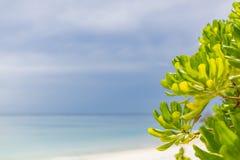 Заводы мангровы на пляже Экзотические тропические заводы природы на пляже Мальдивов стоковая фотография