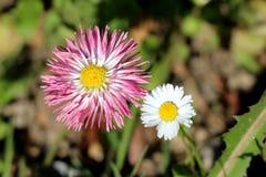 Заводы 2 открытых зацветая общих маргаритка или perennis Bellis herbaceous постоянные с белым и розовым цветком с желтым центром стоковые фото