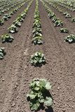 заводы поля фермы squash овощ Стоковое фото RF