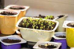 Заводы растут прорастают в чашке на windowsill стоковая фотография rf