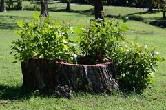 Заводы растя от пня дерева стоковое фото rf