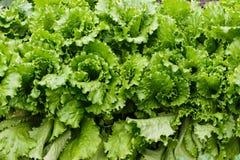 Заводы салата в саде Стоковая Фотография RF
