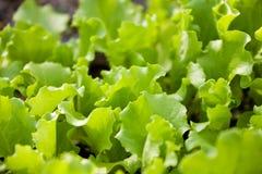 заводы салата листьев младенца Стоковое Изображение RF