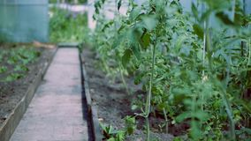 Заводы томата в процессе роста в парнике сток-видео