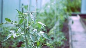 Заводы томата в процессе роста в парнике акции видеоматериалы