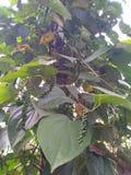 Заводы черного перца на деревьях arecanut стоковое фото rf