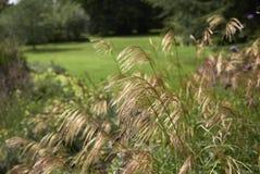 Заводы sinensis Miscanthus в flowerbed стоковое изображение