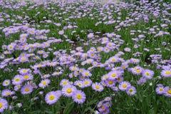 Заводы speciosus Erigeron в цветени Стоковое фото RF