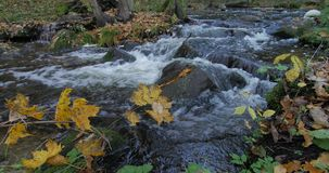 Заводь чистой воды течь через лес осени с желтыми листьями сток-видео