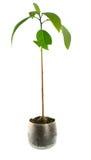 завод авокадоа изолированный houseplant Стоковое фото RF