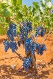Завод виноградины с виноградинами пуков голубыми в винограднике стоковые фото
