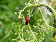завод вош ladybug Стоковое Изображение RF