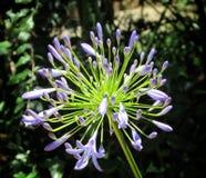 Завод гераниума сини зацветая цветя Стоковые Изображения