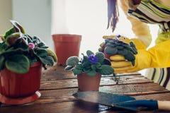 Завод женщины трансплантируя фиолетовый в другой бак на кухне Домохозяйка позаботить о домашние заводы и цветки стоковые фотографии rf