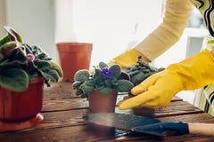 Завод женщины трансплантируя фиолетовый в другой бак на кухне Домохозяйка позаботить о домашние заводы и цветки стоковая фотография