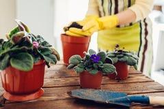 Завод женщины трансплантируя фиолетовый в другой бак на кухне Домохозяйка позаботить о домашние заводы и цветки стоковые изображения rf