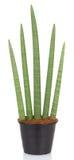 завод засаживает тропик sansevieria бака тропический Стоковое фото RF
