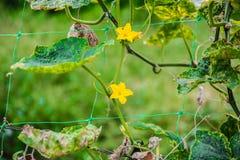 Завод и цветки тыквы Стоковая Фотография