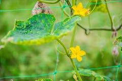 Завод и цветки тыквы Стоковое фото RF