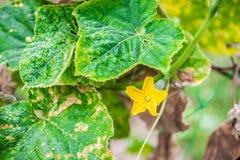 Завод и цветки тыквы Стоковые Фото