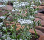 Завод и цветки serotinum Eupatorium Стоковые Изображения RF