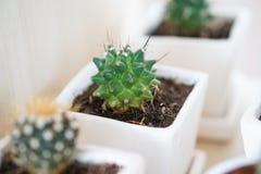 Завод кактуса в белых керамических баках Стоковые Изображения RF