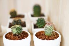 Завод кактуса в белых керамических баках Стоковые Фотографии RF