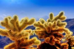 Завод кактуса Cholla в дереве Иешуа Стоковое Изображение